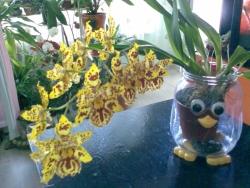 Моята орхидея-камбрия :)