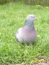 Едно прекрасно гълъбче.
