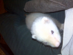 bella Ferret