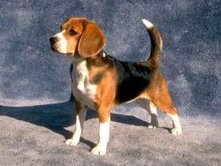 89949-beagle.jpg