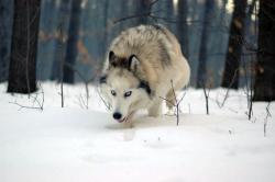 Вълчо