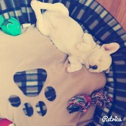 Cute sleeping frenchy
