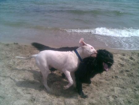 Pin Dogo Argentino Vs Pitbull Fight on Pinterest